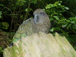 Kea NZ Mountain Parrot by Galato901