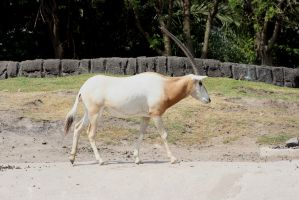 Scimitar-horned Oryx by Niaoblis