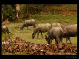 Grazing Buffaloes by Infinite-Stardust