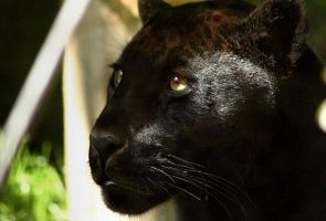 black leopard by kyleusher