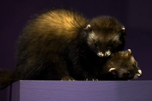 Mating european polecats by Smauch