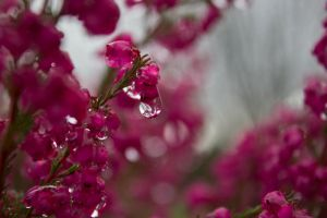 pink drops II by Elinsch