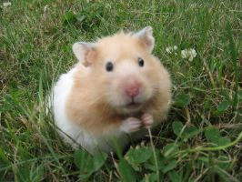 Peaches the hamster by shirakouri