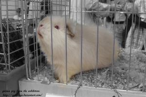 guinea pig from the exhibition by Yumi-nya