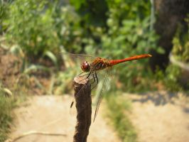 dragonfly by sstando