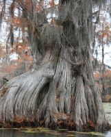 Cypress Tree II by idnurse41