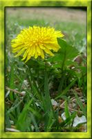 Dandelion by 1footonthedawn