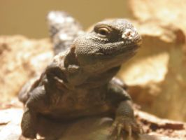 Uromastyx by Destroyah93