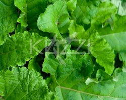 Rhubarb Leaves by brish08