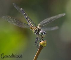 dragonfly1_perched by Gooiool