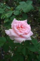 Rose02 by JewelsStock