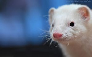 White...Blue Ferret Wallpaper by Yukkabelle