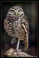 Burrowing Owl by QNetX