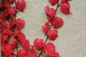 red leaves6 by Susannehs