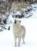 Howlin Arctic Wolf by White-Voodoo