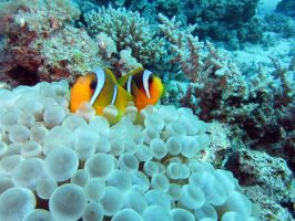 Anemone Fish (nemo to you and me!) by OccipitalClimax