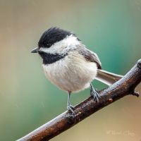 .:Wet Chickadee:. by RHCheng
