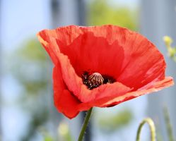 poppy by Tiger--photography