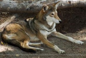 Red Wolf Relaxing by Lyricalwolf