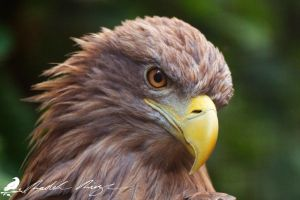 White-tailed eagle (Haliaeetus albicilla) by PhotoDragonBird