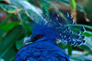 Victoria Crowned Pigeon by Tinap