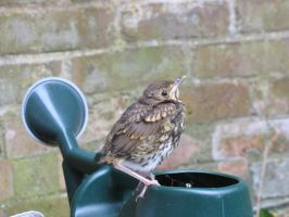 Baby Song Thrush 01 by eldris-stock