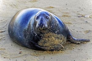 Staring Seal by Coigach
