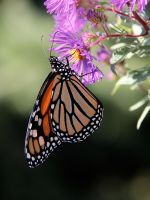 Monarch Butterfly by KMourzenko