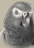 African Gray by 2MarK4