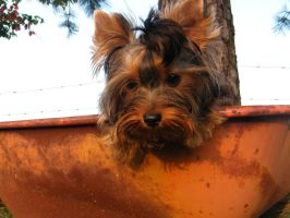 In or Out by Show-us-Yorkies