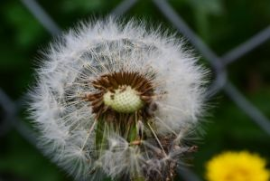 dandelion by passionNdesire