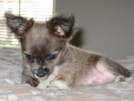 Chico by englishmissie