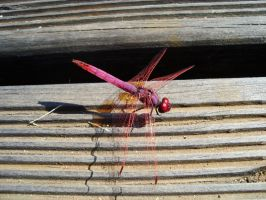 Pink Dragonfly II by Sonia-Rebelo