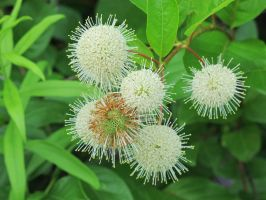 Common Buttonbush 1a by Windthin