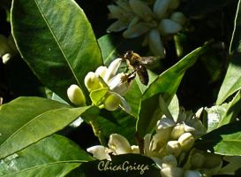 Bee on an orange tree by ChicaGriega