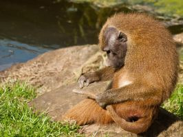Guinea Baboon 03 - Sep 13 by mszafran