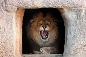 Cranky Lion by robbobert