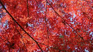 Red Maple Canopy by Foxy-Cosplay