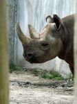 Black Rhino 2 by Tweetspie