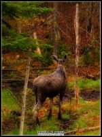 Moose in Algonquin - 3 by PrimalOrB