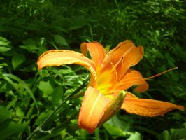 Daylily by AJEsimply