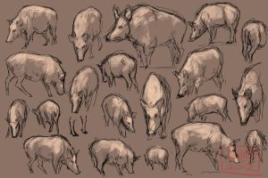 Wild Boar Studies by kalambo