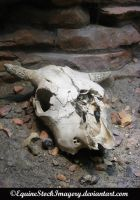 Cow Skull stock 2 by EquineStockImagery
