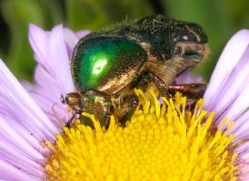 Much love for the Green Rose Chafer 2 by Vitaloverdose