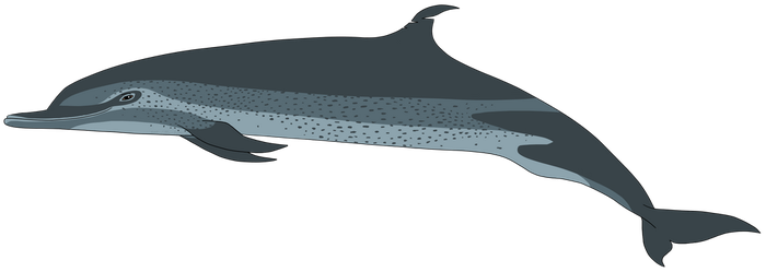 Pantropical Spotted Dolphin by Potoo-Foolery