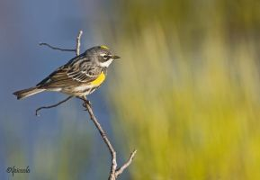 Yellow-Rumped Warbler by Les-Piccolo