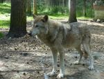Wolfes 1 by mrscats