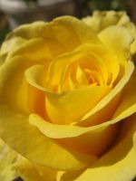 Yellow Rose - Petals by ODitta95
