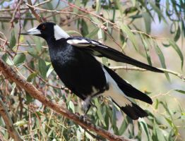 Majestic Magpie by Bluebuterfly72