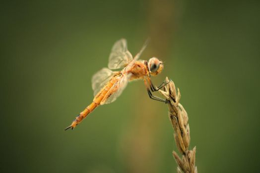 Dragonfly Clinging to Corn Tassel by DBoydPhotography